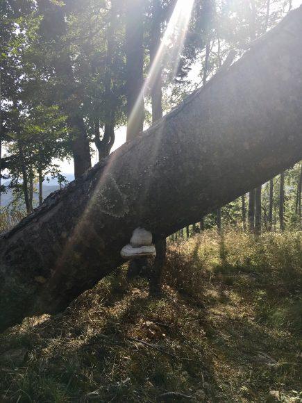 ciuperca de copac